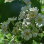 Elsbeerenblüte